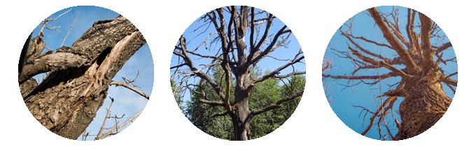 Пример сухостойных деревьев