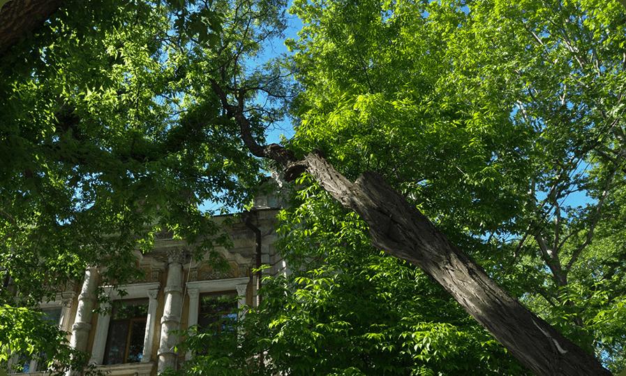Старое дерево на 80% сухое с наклоном 48%. При сильном ветре, подмокание корневой системы – дерево упадет.