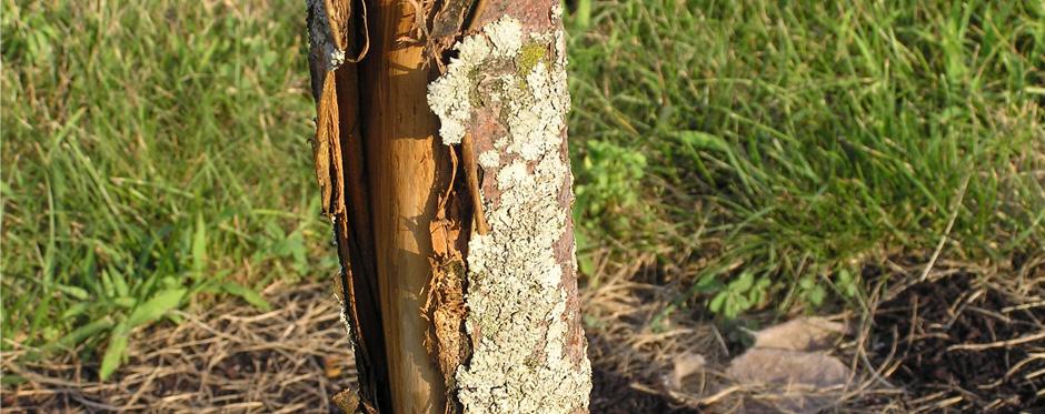 дерево с трещиной в коре