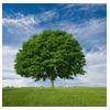 дерево с зелёной кроной