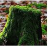 мох дерева