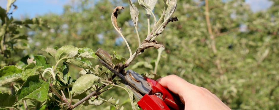 санитарная обрезка дерева