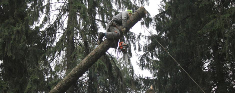 валка дерева с оттяжкой