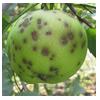 парша яблока