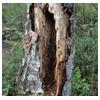 гнилое дерево