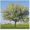 груша дерево