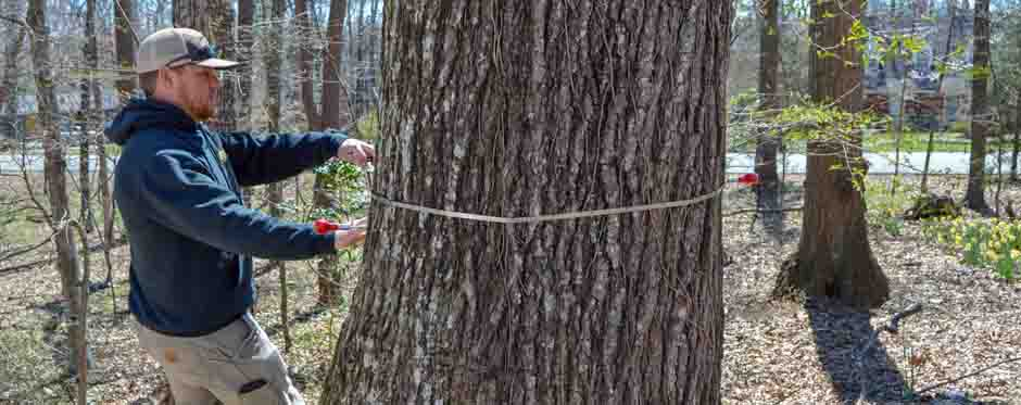 замер диаметра дерева