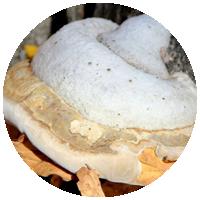 Фитопатогенные грибы