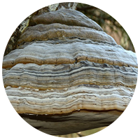 Лечение трутовых грибов