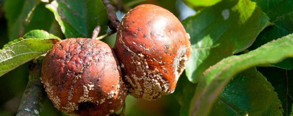 плоды с мунилиозом