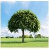 дерево с аккуратной кроной