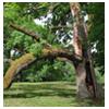 дерево с расколотым стволом