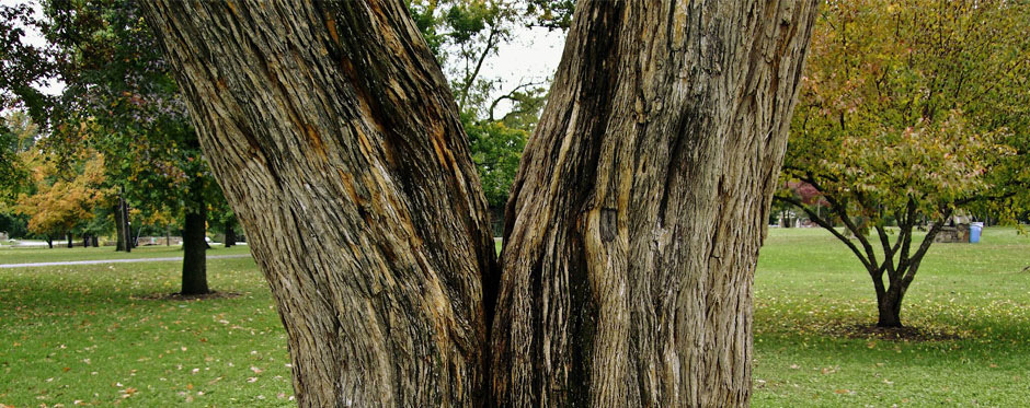 дерево с развилкой