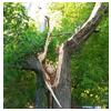 дерево со сломанным стволом