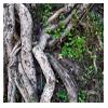 корни дерева