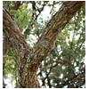раздвоенный ствол дерева