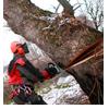 спиливание аварийного дерева в сторону естественного наклона
