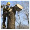 спиливание аварийного дерева с оттяжкой