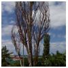 сухое дерево