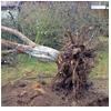 валка дерева с корнем