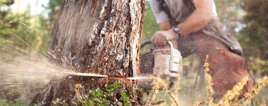валка дерева с корня