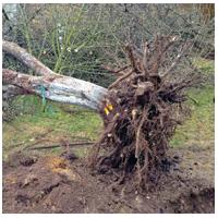 валка дерева с корнями