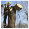 валка опасных деревьев частями