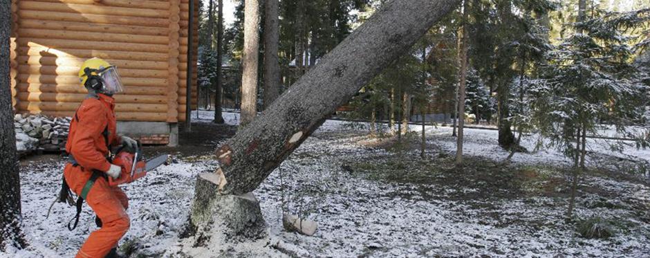 валка опасного дерева целиком