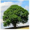 крона дерево