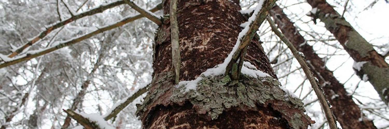 дерево после короеда