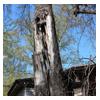 аварийное дерево